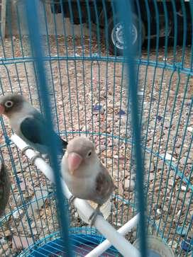 Burung lovebird, love bird, lakbet