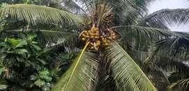 Coconut farm land sale