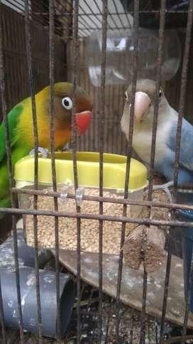 Sepasang burung lovebird#lakbet