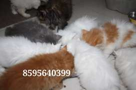 Adorable Healthy Persian Kittens and Cats are available for Sale