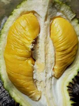Bibit durian musangking dari jawa tengah lokasi bandar Lampung
