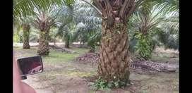 kebun kelapa sawit 155.73ha