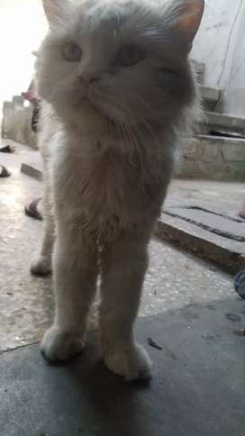 Persian cat male punch face
