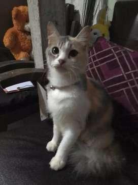 Kucing kitten persia x angora