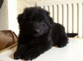 Black German shepherd female puppy available for Sale or Exchange
