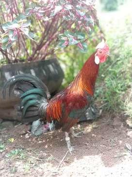 Ayam hutan silangan pertama {F1}