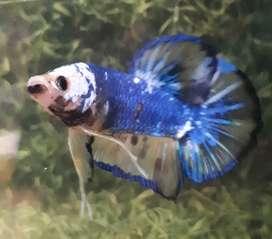 Ikan cupang fancy male