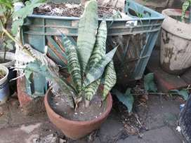 Snake Plant in Clay Pot