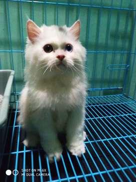Kitten Kucing Persia Longhair odd eye