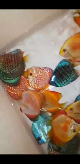 Discus fish imported  all varieties