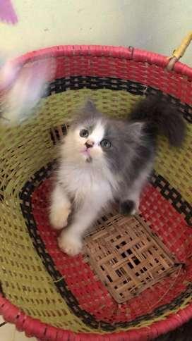 Kitten Pesia Flatnose
