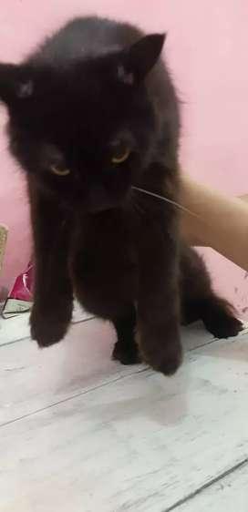 Lepas Adopsi Kucing persia Hitam
