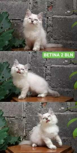 kucing persia medium himalayan betina lucu menggemaskan