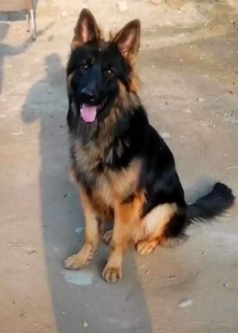 Poland import Male 10 Months old with all import Documents F/S 0