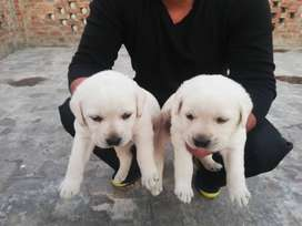 Labrador female and male for sell
