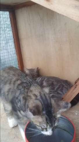 Kucing persia kitten usia 4 bulan