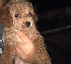 dujual toy poodle STBM