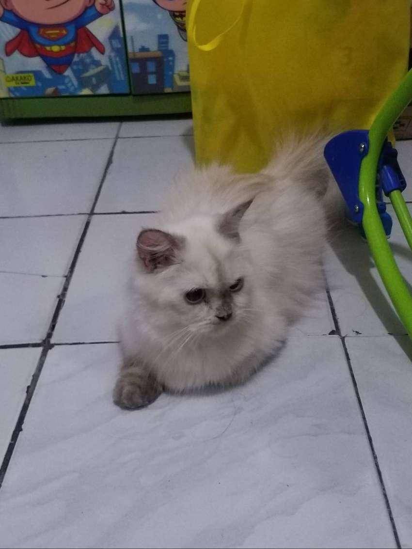 Kucing Persian Himalayan Betina Up 1 Th Sehat Vaksin 0