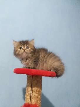 kucing persia ulet bulu