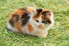 Pure breed persian kitten for sell.