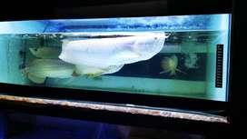 silver albino 62cm mata merah cimahi free antar sampai rumah