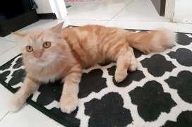 Kucing persia medium oren terawat