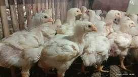 Ayam Broiler usia 2 minggu