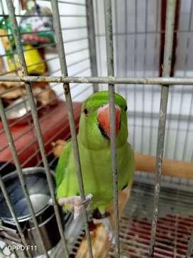 Burung irn ring neck
