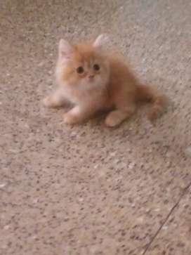 2 Cute little persian kitten 35 days old male
