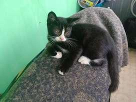 Kucing Persia mix dom usia 3 bulan