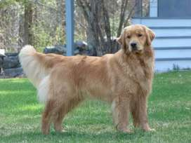 Sale golden retriever and huskey puppies