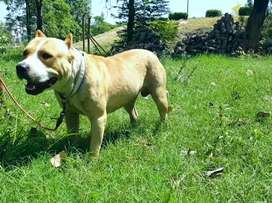 Pitbull male available for sale 12 month beautiful anotmy croped ears