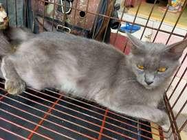Kucing abu abu mix BSH hamil 3 mingggu