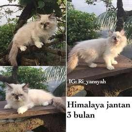 Kucing persia himalaya jantan 3 bulan