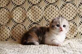 lovely persian kitten for sale avaiilable kittens