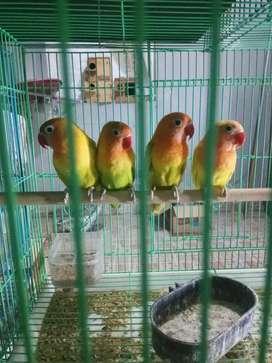 Lovebird siap encus