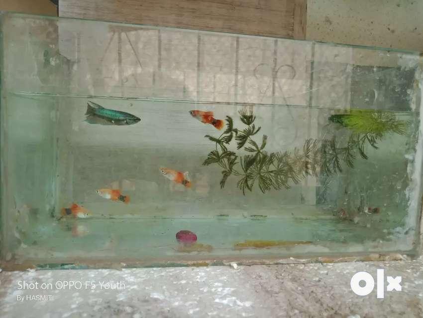 Plety fish 0