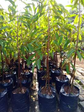 Pohon durian pelangi kaki 3