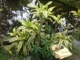 Victoria and Areca palm  plant for sale