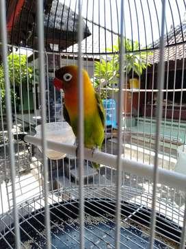 Dijual Lovebird / bt burung kenari jantan