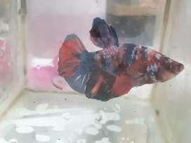 Ikan cupang nemo galaxy multicolour( kota serang banten)
