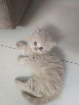 Persion kittens for sale