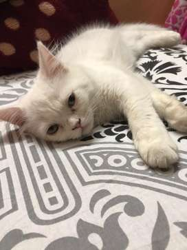 White colour persian kittens