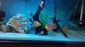 Red Parrot Fishes