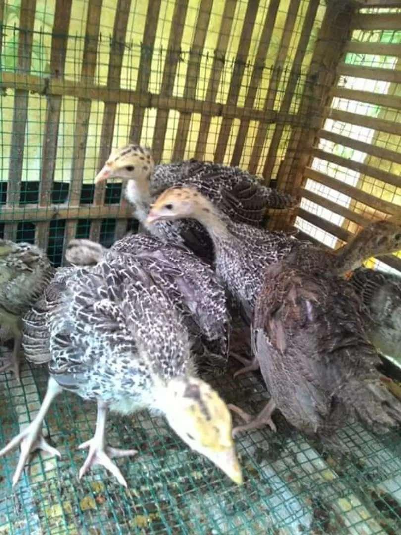 Ayam kalkun umur 1-2 bulan 0