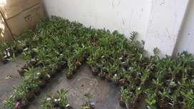 Adenium plant grafted