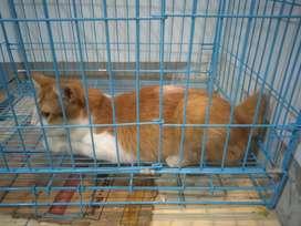 Kucing bulu lebat gratis dari pada di buang