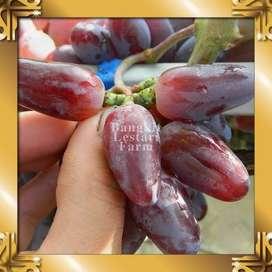 JUAL Pohon Anggur Hijau Amanah
