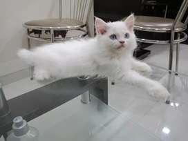 Blue Eyes pure breed persian kitten for sell