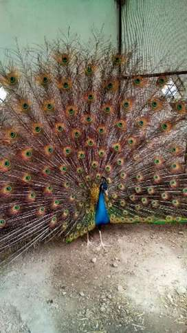 Peacocks breeder pairs for sale